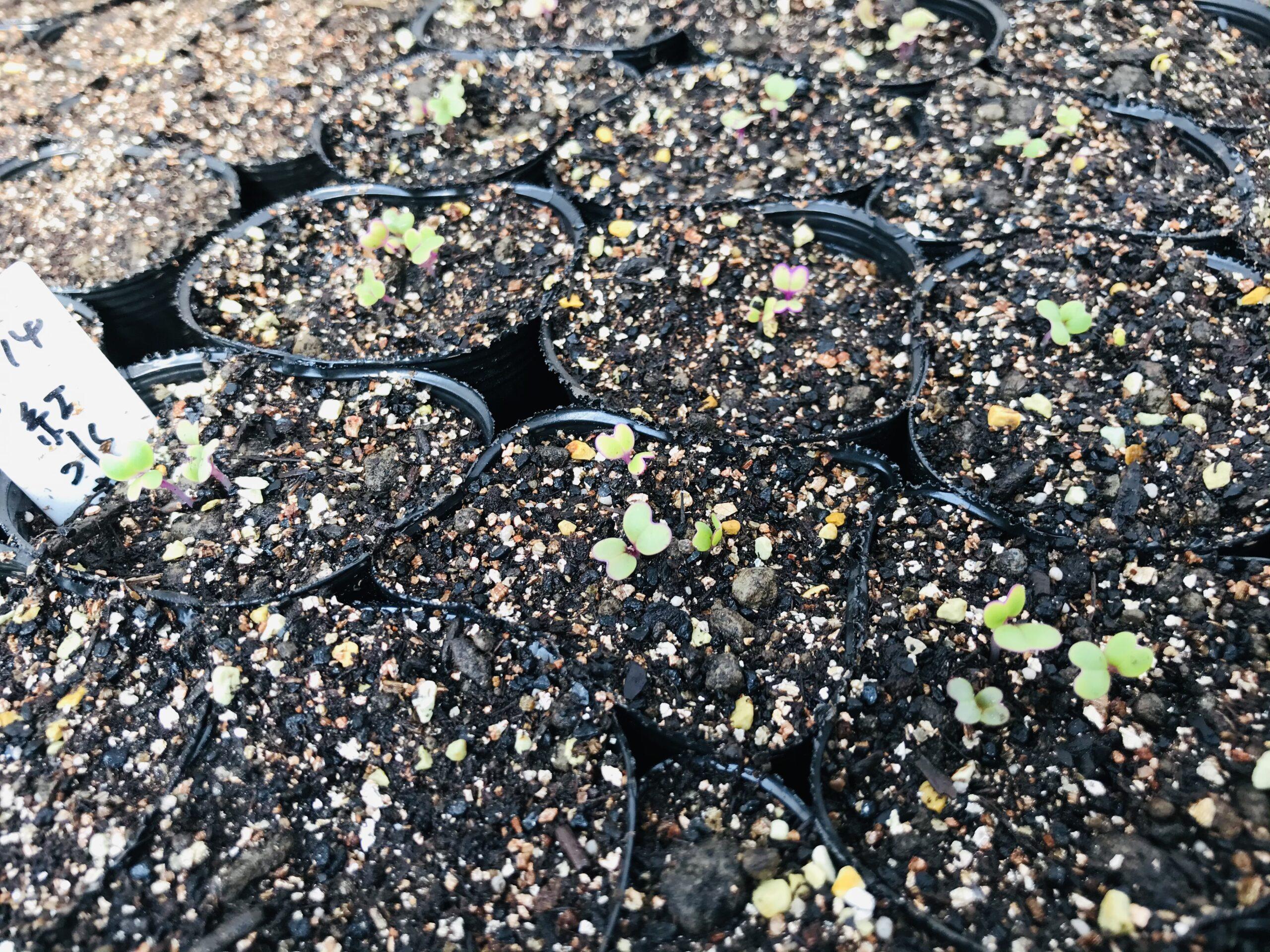 紅水菜の芽が出てきました。