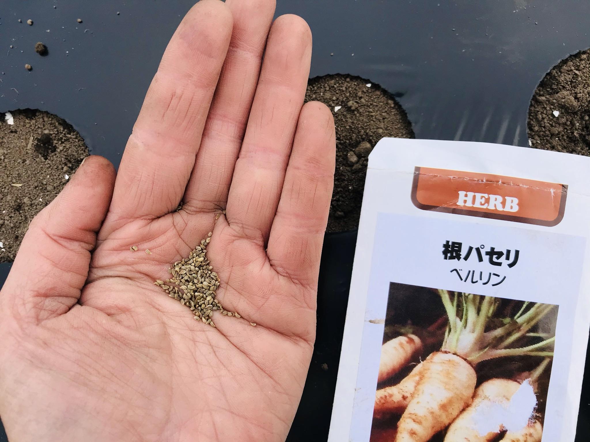 根パセリの種まき