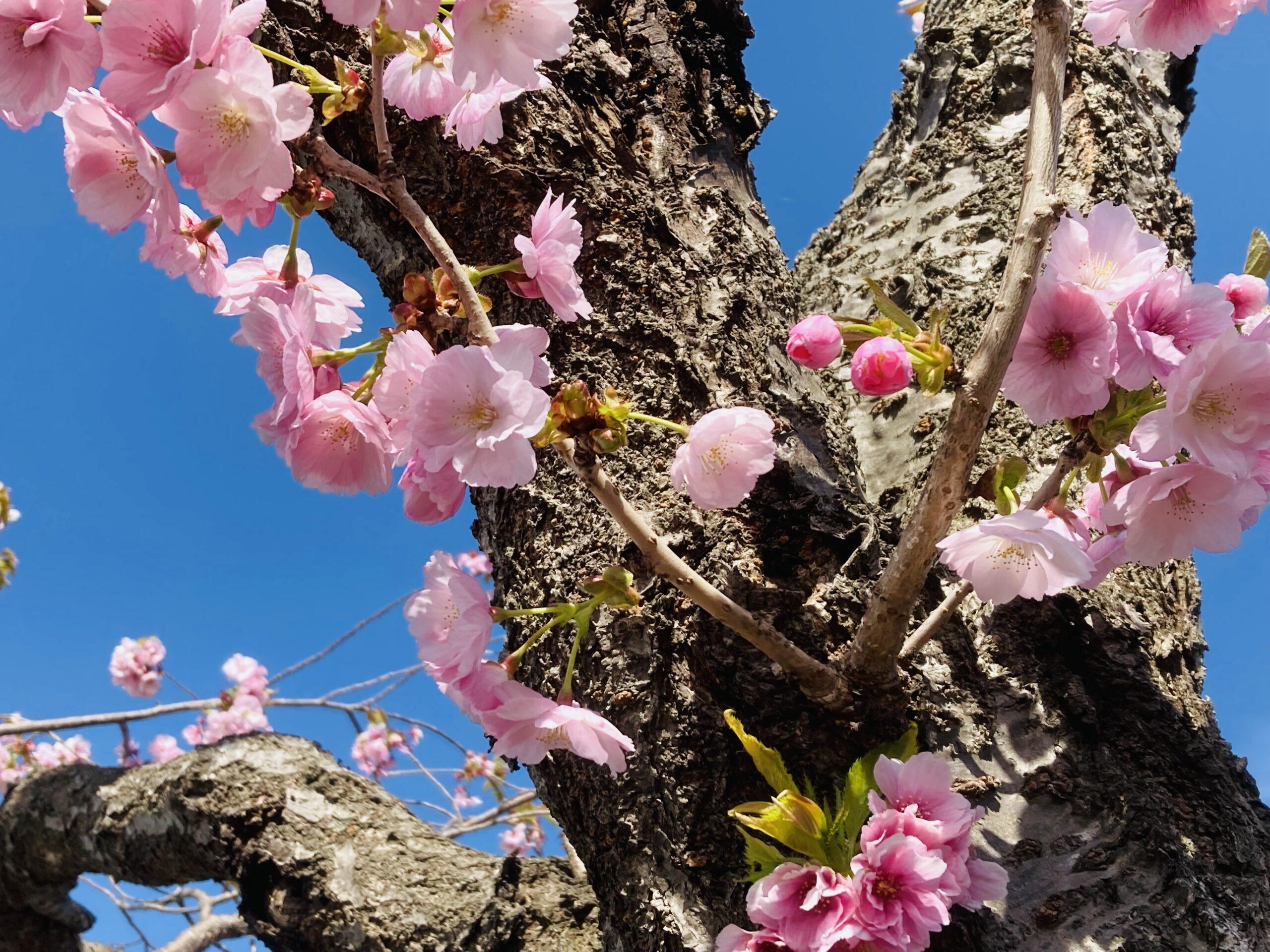 八重桜を集めてきました