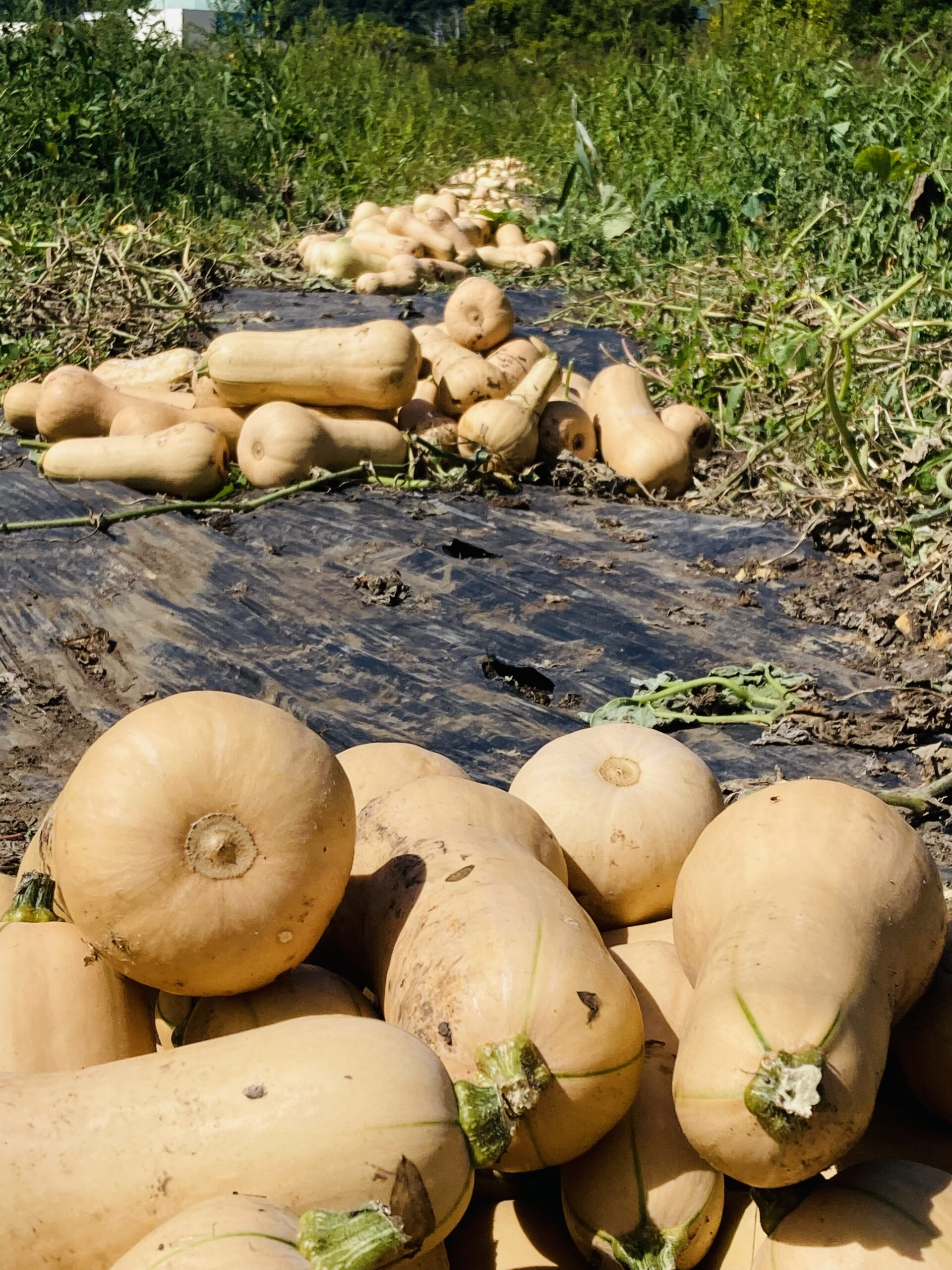 バターナッツ2回目の収穫